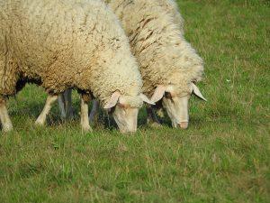 sheep-905717_1280