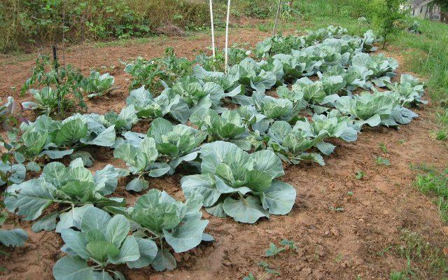 cabbage-1043535_1280